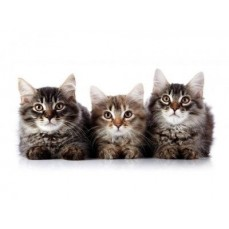 €29 Feline Behaviour and Psychology Diploma Course